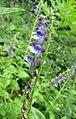高山黃芩 Scutellaria alpina -維也納高山植物園 Belvedere Alpine Garden, Vienna- (29048279941).jpg