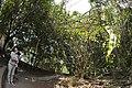 鴨腱藤 (37114085526).jpg