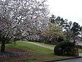 벚꽃과 봄소식 Alpharetta GA - panoramio.jpg