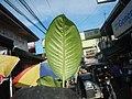 0546La Suerte lucky plant in the Philippines 06.jpg