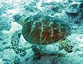0707GBR 74 turtle can swim fast M (3746155982).jpg