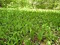 14.05.2006 - територія заказника Чернечий ліс (4).jpg