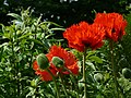 200805241032 papaver somniferum.JPG