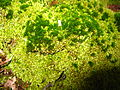 2008 04 06 - Russett - Moss in the nature reserve 4.JPG