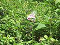 2009-06-17 Flora am Eisenstein (Niederösterreich) 4.jpg