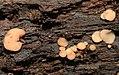 2011-06-30 Ciboria macrospora Velen 154831.jpg