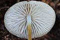 2012-09-15 Strobilurus conigenoides (Ellis) Singer 262297.jpg