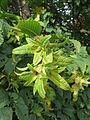 20130921Carpinus betulus2.jpg