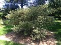2014-08-29 13 46 07 Variegated English Holly at the Pinelands Preservation Alliance headquarters in Southampton Township, New Jersey.JPG