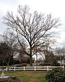 2014-12-28 15 02 24 Pin Oak on Terrace Boulevard in Ewing, New Jersey.JPG