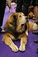 2014 Westminster Kennel Club Dog Show (12486390935).jpg