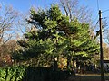 2015-11-14 15 23 37 An Eastern White Pine which was topped in early 2012 (3.5 years earlier) along Terrace Boulevard in Ewing, New Jersey.jpg