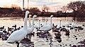 2016-01-11 swan.jpg