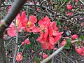 2017-02-28 14 55 17 Flowering Quince blossoms along Allness Lane in the Chantilly Highlands section of Oak Hill, Fairfax County, Virginia.jpg