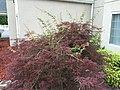 2017-06-13 08 03 51 Red Laceleaf Japanese Maple reverting to standard green by way of suckers beneath the graft point along Bristol East Road in Bristol, Virginia.jpg