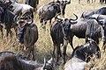 2017 Wildebeest migration Kenya 04.jpg
