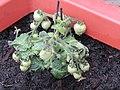 2018-04-10 Cherry tomato plant, (Solanum lycopersicum var. cerasiforme), Northrepps, Cromer.JPG