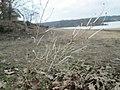 20190222Diplotaxis tenuifolia1.jpg