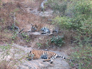 2 Tigers Bandhavgarh National Park Madhya Pradesh India.jpg