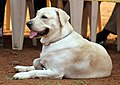 3062-labrador-sitting-dog-show (20499435755).jpg