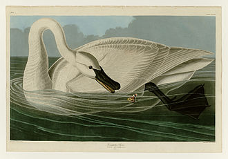 Trumpeter swan - Plate 406 of the Birds of America by John James Audubon, depicting the trumpeter swan