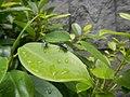 4733Common houseflies in Philippines 32.jpg
