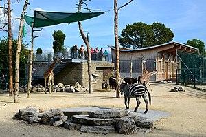 Knie's Kinderzoo - Equus zebra and Giraffa camelopardalis
