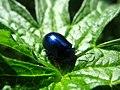 5806 - Schynige Platte - Coleoptera.JPG