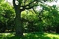 80-361-5049 Kyiv Golosiivski Veletni Oak SAM 0109.jpg