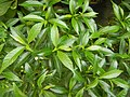 9639Ornamental plants in the Philippines 15.jpg