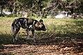AFRICAN WILD DOG (14007481954).jpg