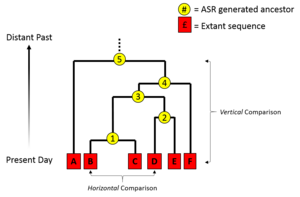 Ancestral sequence reconstruction - An illustration of a phylogenetic tree and how it plays in conceptualising how ASR is conducted.