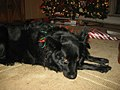 A Border Collie on Christmas, 2010.jpg