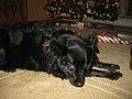 A Border Collie on Christmas, 2010.jpg