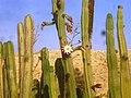 A Cactus Blooming in the Alpacas Farm קקטוס פורח בחוות האלפקות - panoramio.jpg