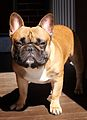 A French Bulldog.jpg