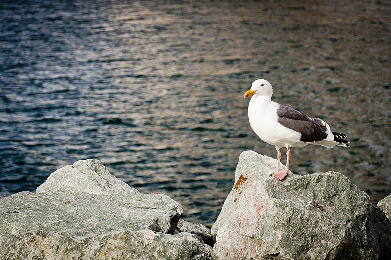 File:A Seagull at the Bay (8727179074).jpg