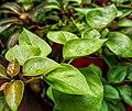 A Wet Leaf.jpg