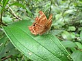 A damaged butterfly at Sinharaja Rainforest.jpg