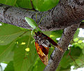 A mantis eating a Large brown cicada 0908.jpg