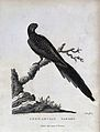 A pennantian parrot perching on a branch. Etching by A. Lath Wellcome V0022326.jpg