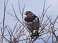 A ptarmigan perched in a bush (701c5828-3ec5-4d8a-ae65-6b51fa274e12).jpg