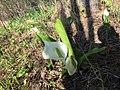 A spring flower. Nekrasovka, Sakhalin.jpg