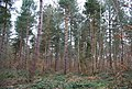 A stand of conifers, Clowes Wood - geograph.org.uk - 1211553.jpg