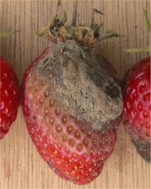 Aardbei Ламбада vruchtrot Botrytis cinerea.jpg