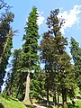 Abies pindrow India58.jpg
