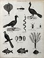 Above, two fish, two birds, a rattle snake and two beetles Wellcome V0020666EL.jpg