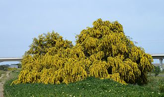 Acacia saligna - Image: Acacia April 2015 3