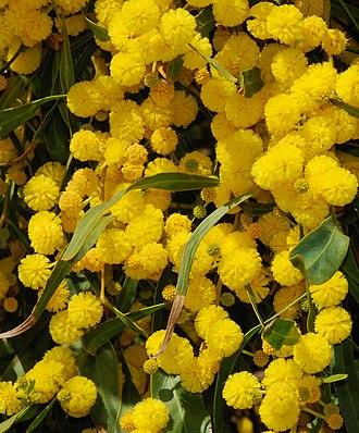 Acacia saligna - Flowers and leaves