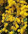 Acacia March 2008-2.jpg